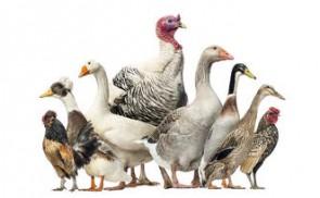 Déclaration de détention d'oiseaux dans le cadre d'un foyer de maladie aviaire
